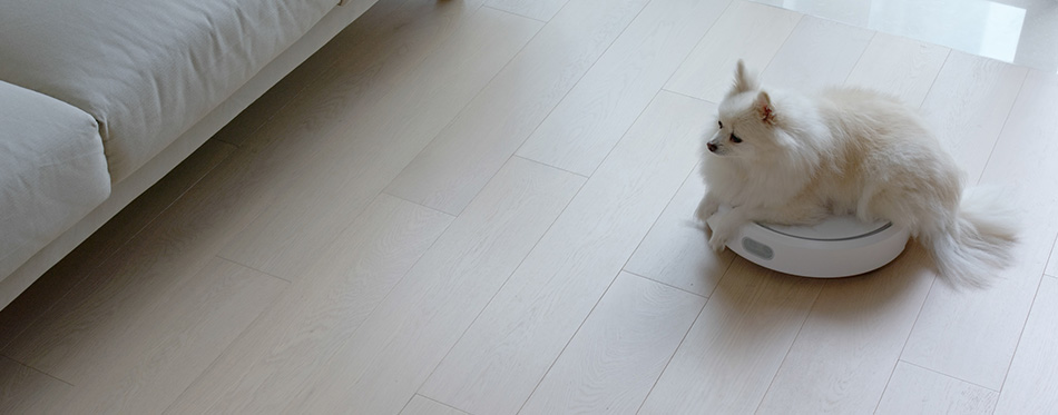 Pomeranian Dog sit on robotic vacuum cleaner