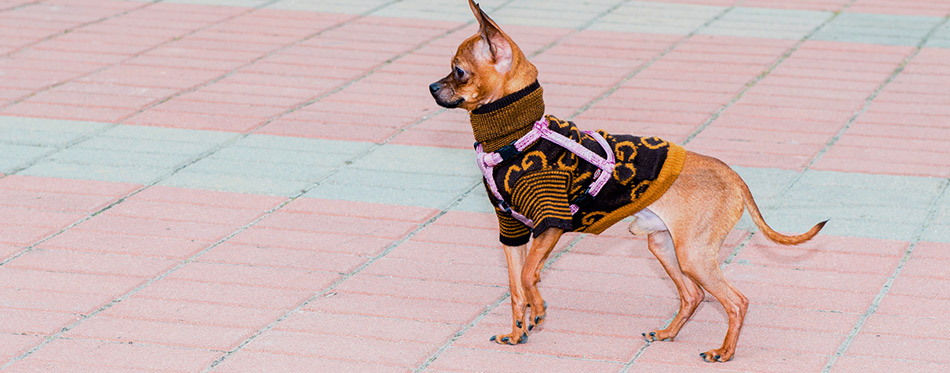 Russian Toy Terrier walks