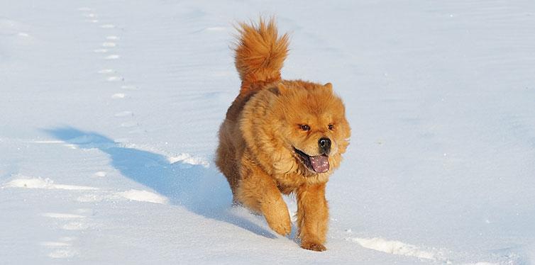The dog runs on snow