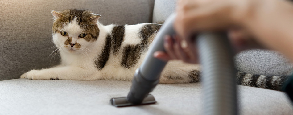 White cute cat sitting on sofa is looking at vacuum cleaner