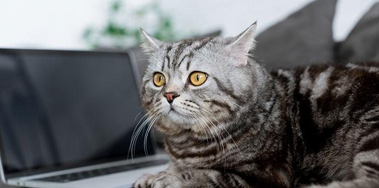 cute scottish straight cat
