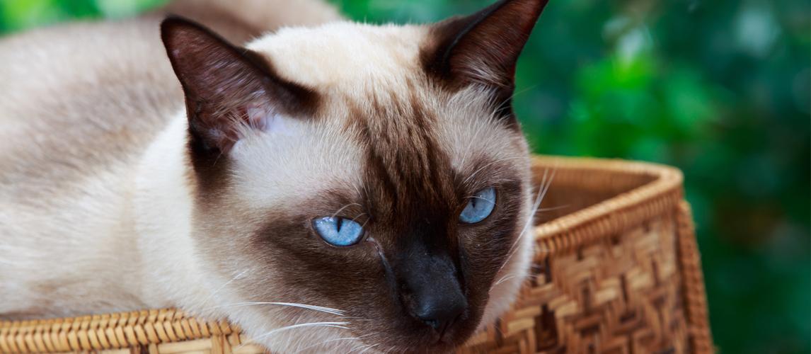 Best Hypoallergenic Cat Breeds Pet Side