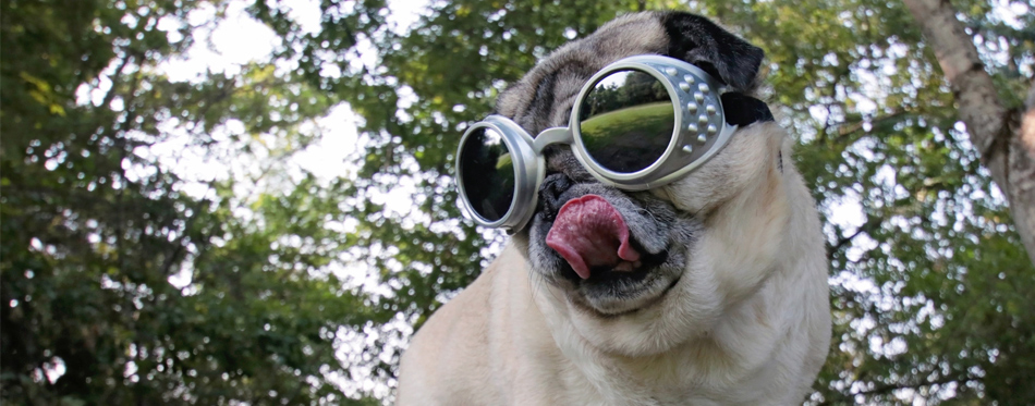 pug wearing sunglasses
