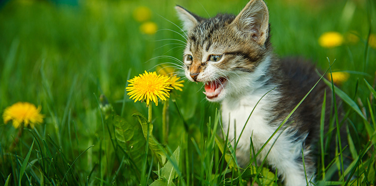kitten meowing cat cries sitting in green grass