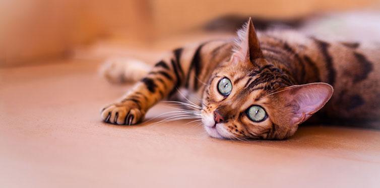 Bengal Cat lying down