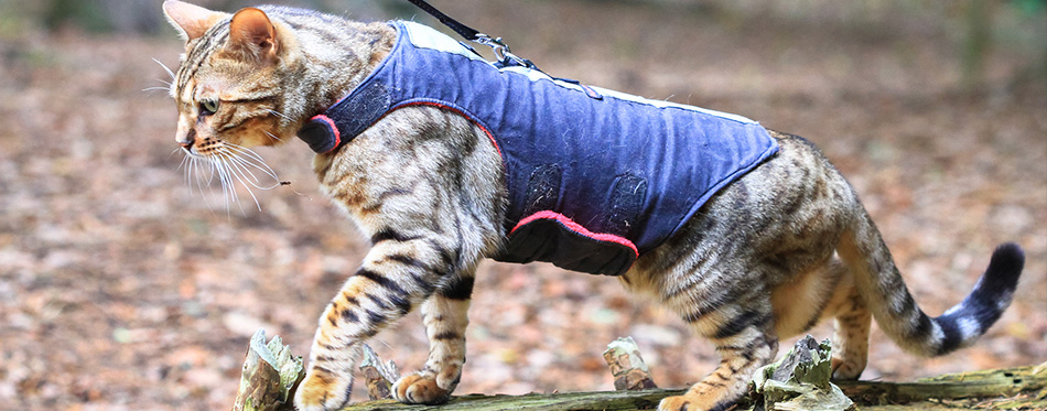 Bengal cat in a harness