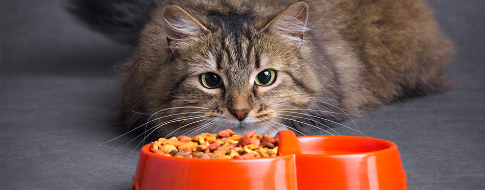 Cat looks at a bowl of feed