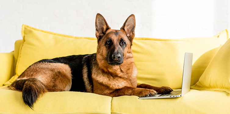 Cute German Shepherd lying on bright yellow couch