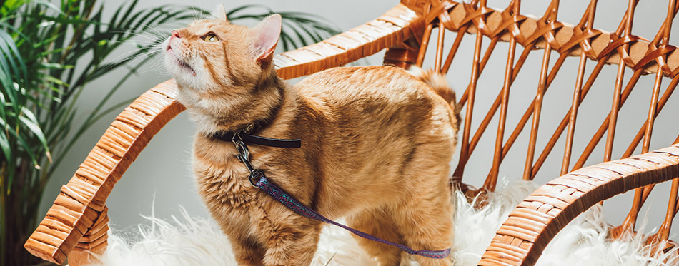 Cute domestic ginger cat with leash