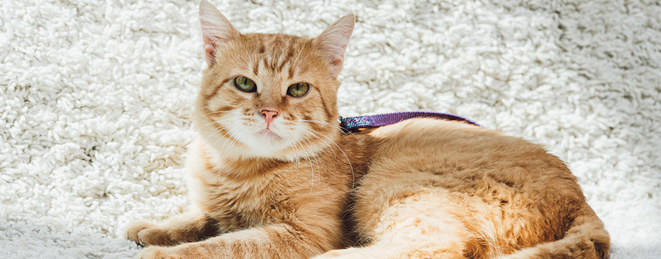 Cute domestic red cat with leash