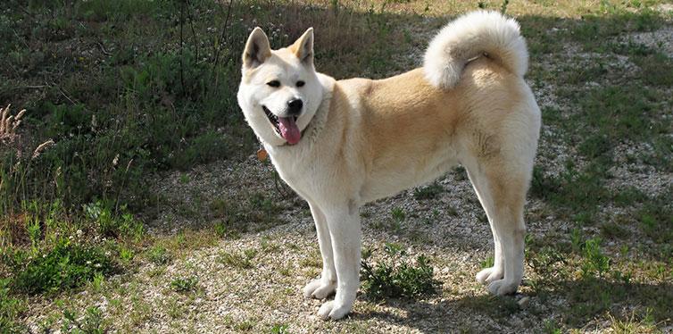 Dog Akita Inu