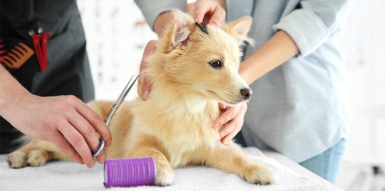 Dog Spitz at groomer salon