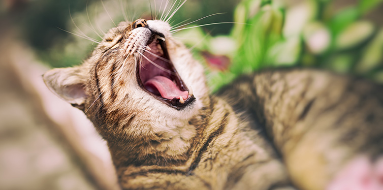 Domestic cute cat yawning