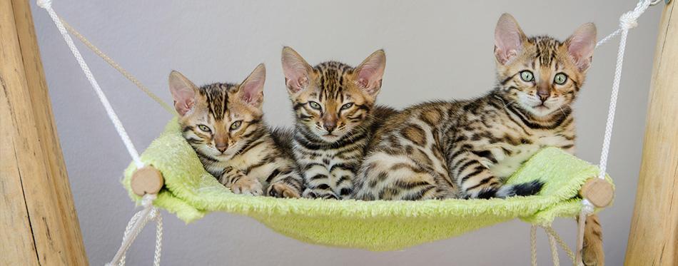 Fuzzy Bengal Kitten in Hammock