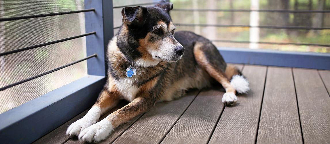German Shepherd Husky Mix: Breed Facts & Temperament | Pet Side