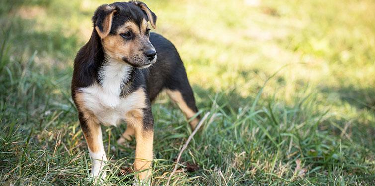 German Shepherd Husky Mix Puppy