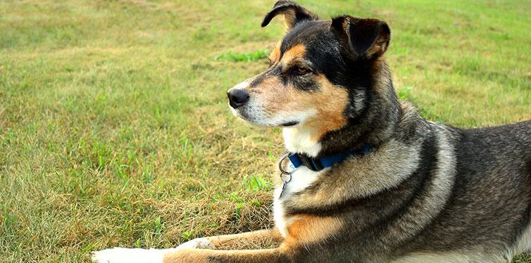 German Shepherd Mix Dog