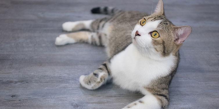 Gray cat sitting on wooden floor