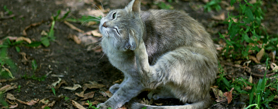 Grey cat itches