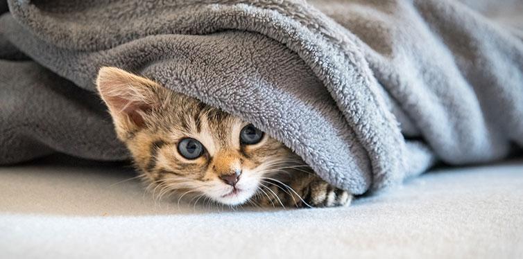 Hidden Kitten