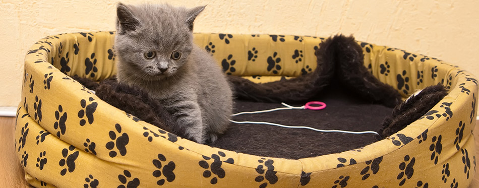 Kitten In Its Bed