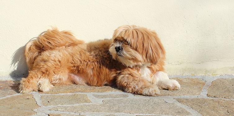 Lhasa Apso dog
