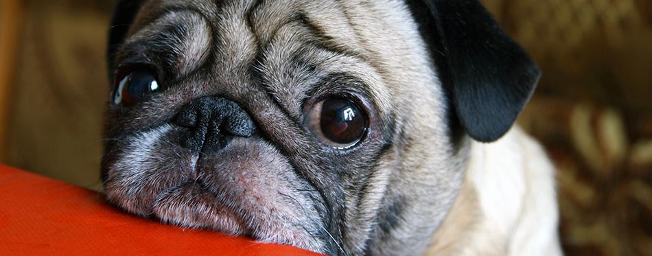 Pug with sad eyes