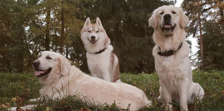 Siberian Husky and Golden Retrievers