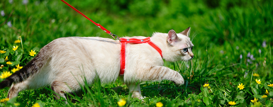Tabby point kitten walking on a leash