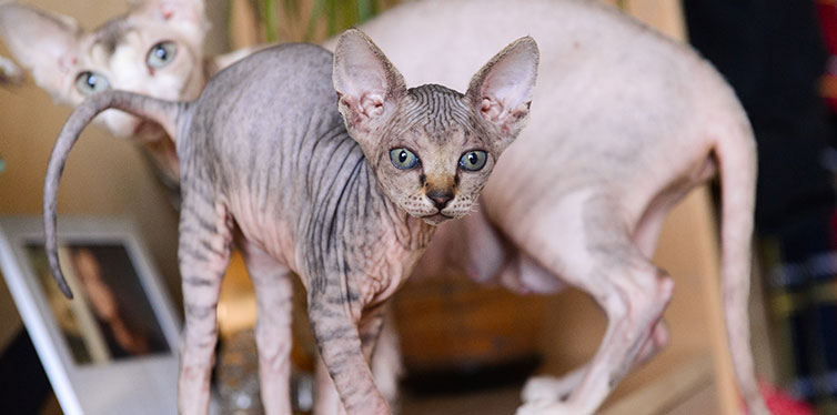 Tabby sphinx kitten