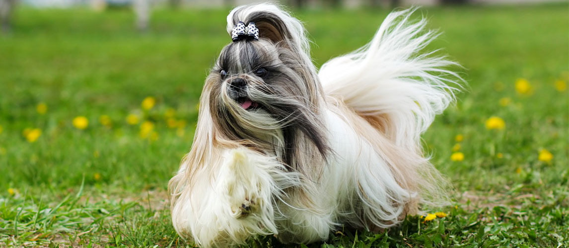 Top 10 Long Haired Dog Breeds Pet Side