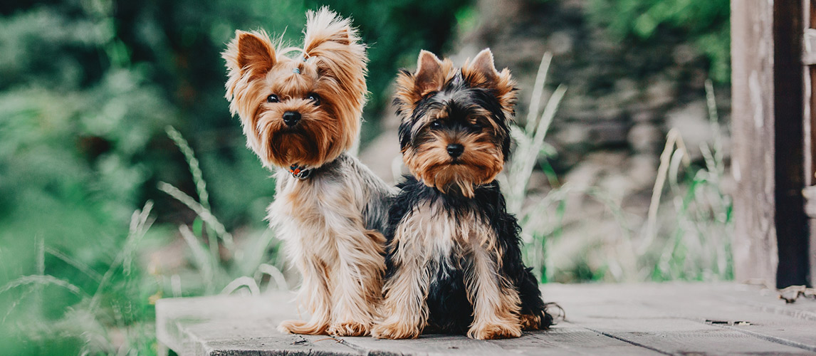 Yorkshire Terrier Breed Facts And