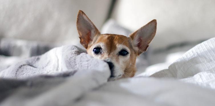 adult brown dog