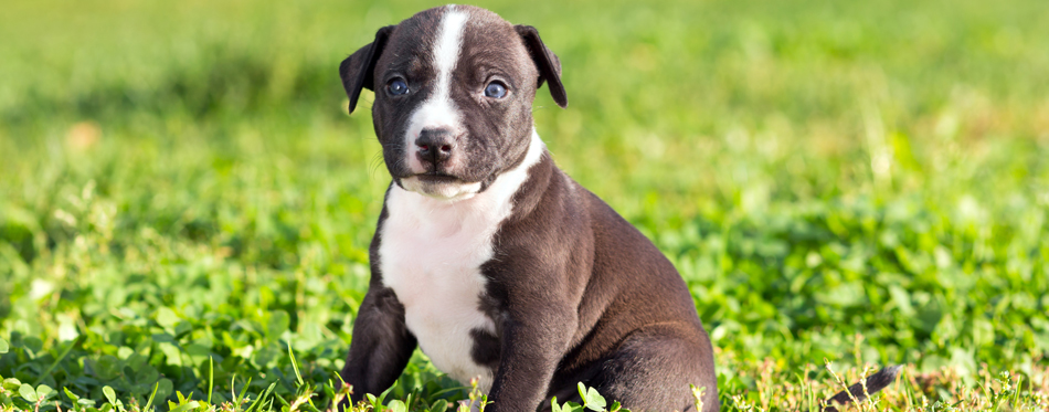 food for pitbull puppy