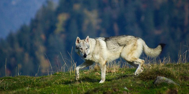 white wolfdog
