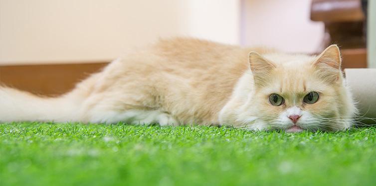 Cute Munchkin cat