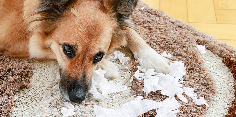 Dog lying on the carpet with torn papers