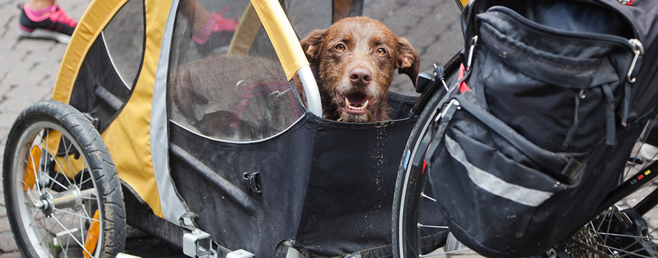 Dog sitting in a bicycle trailer