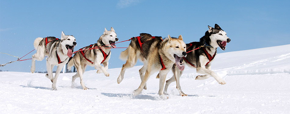 Four Huskies