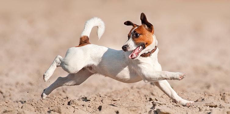 Jack Russell Terrier Dog Running Beach Sea
