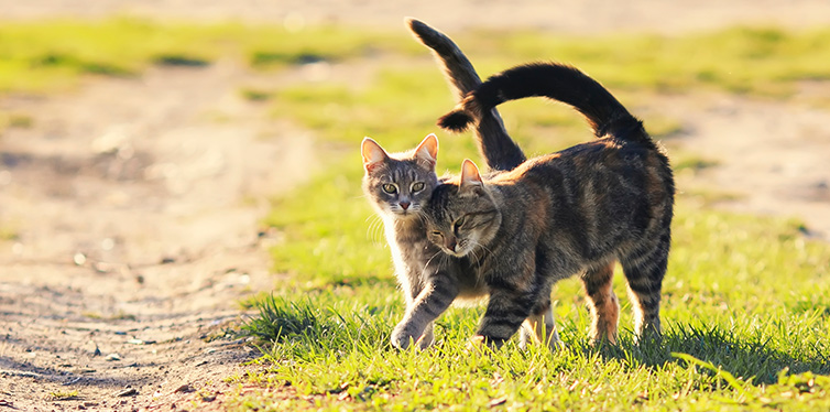 Pair of sweet loving cat walking on the bright green meadow