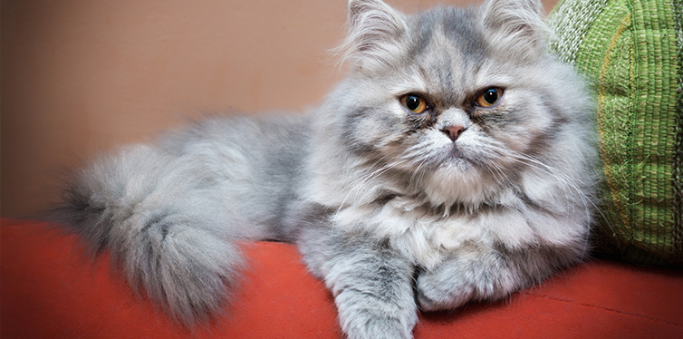 Persian cat on the couch