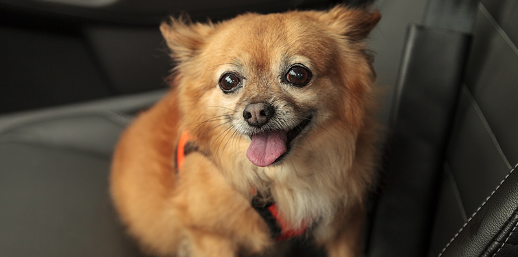 Pomchi Chihuahua Pomeranian Mix Breed Facts Temperament