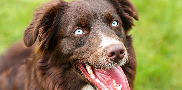 Portrait Picture Australian Shepherd Dog