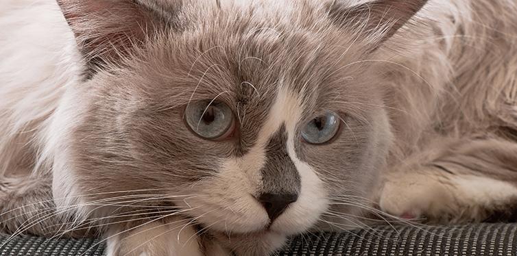 Ragdoll breed of cat