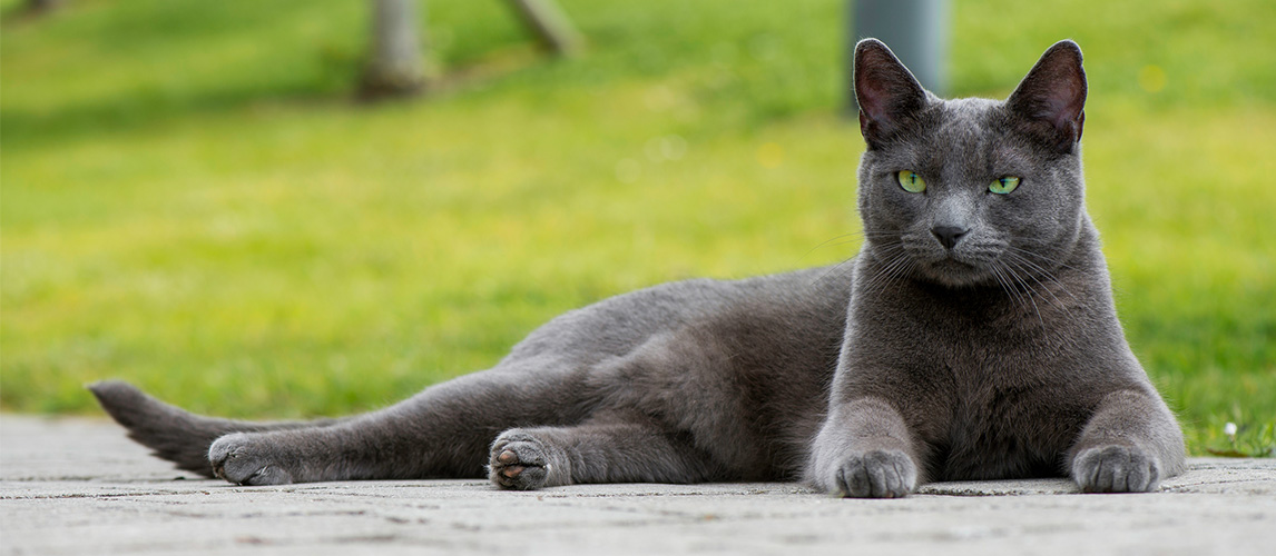 Russian Blue Cat Cat Breed Information Characteristics Facts
