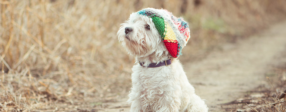 Small dog in the hat