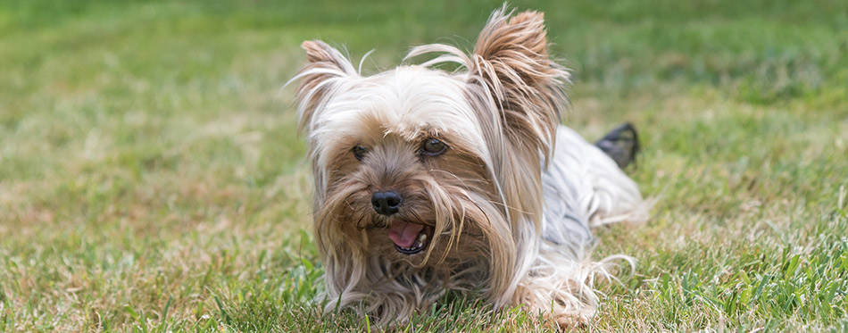 Yorkshire Terrier is lying on the lawn