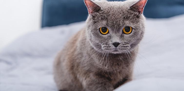 adorable grey british shorthair cat