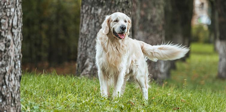 adorable playful golden retriever dog standing grass park